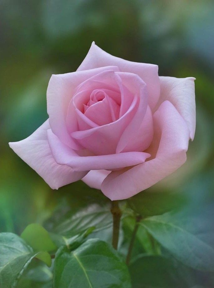 Pin By Teegan Nicole On Roses Flowers Rose Flower Pictures Beautiful Pink Flowers Rose Flower