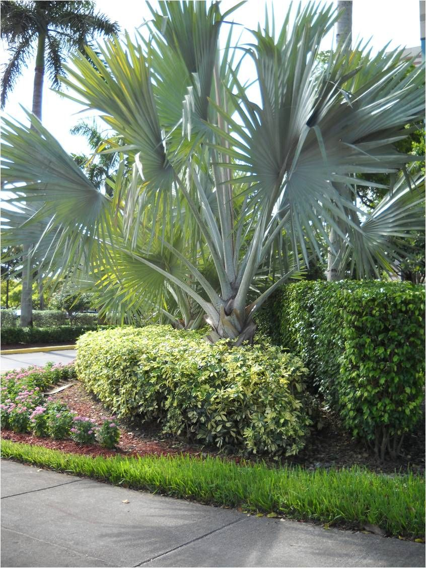 Tipos de palmas sheflera de hojas variegadas - Setos de jardin ...