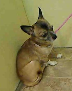 SUPER URGENT ***CORNEAL ULCERATION**   NEEDS OUT NOW!!!  Manhattan Center BUDDY – A1041799  MALE, BROWN / BLACK, CHIHUAHUA SH MIX, 9 yrs STRAY – STRAY WAIT, NO HOLD Reason STRAY Intake condition INJ MINOR Intake Date 06/27/2015 http://nycdogs.urgentpodr.org/buddy-a1041799/
