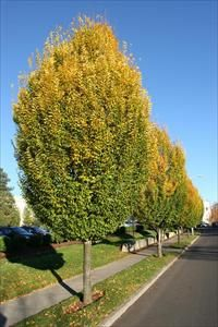 Image result for pyramidal european hornbeam tree