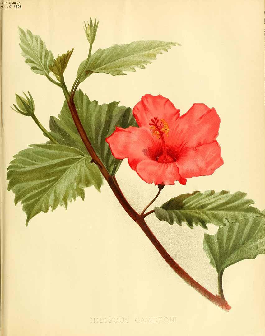 Hibiscus plants illustrations pinterest hibiscus plant hibiscus ccuart Image collections