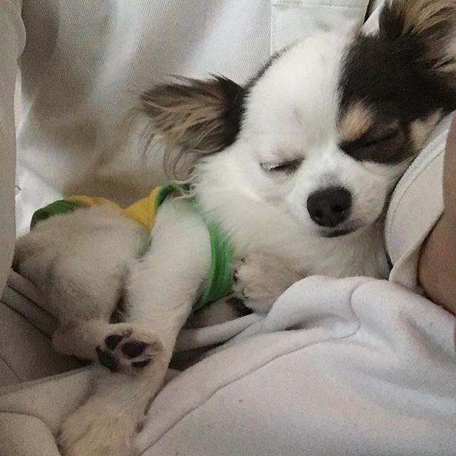 意地でも膝から降りず寝てるルイ🐶  #犬 #チワワ #dog #chihuaha  #pet #instadog #子犬 #パピー #love #puppy #rui #ふわもこ #可愛い #癒し #愛犬 #ロングコート