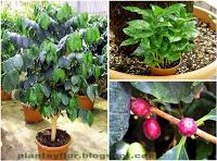 Plantas y flores: Coffea arabica