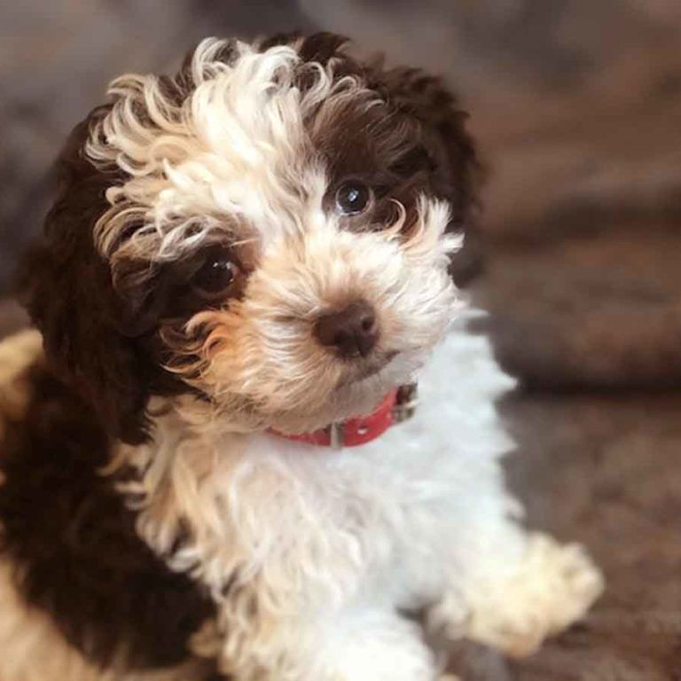 Toy Poodle Puppies for sale Teacup and Micro Poodle