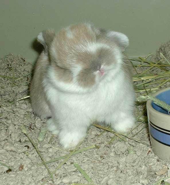13 Mini Rex Rabbits for Sale in Milwaukee, WI | Rabbits | Mini rex