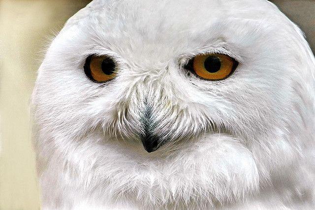 "Snowy Owl © by The ""Digital Surgeon"""