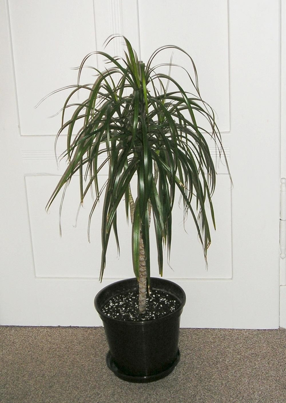 The Dracaena Marginata A Shrub And Member Of Agavaceae Family Is Tall Leafy Potted Plant In Many Homes Businesses