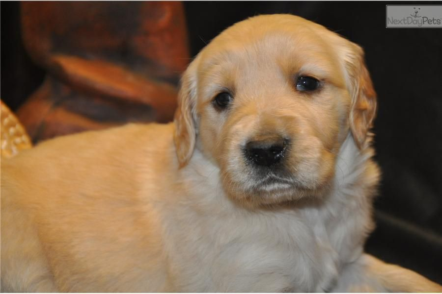 Golden Retriever For Sale For 550 Near Des Moines Iowa B70147f7 Bea1 Golden Retriever Retriever Puppies