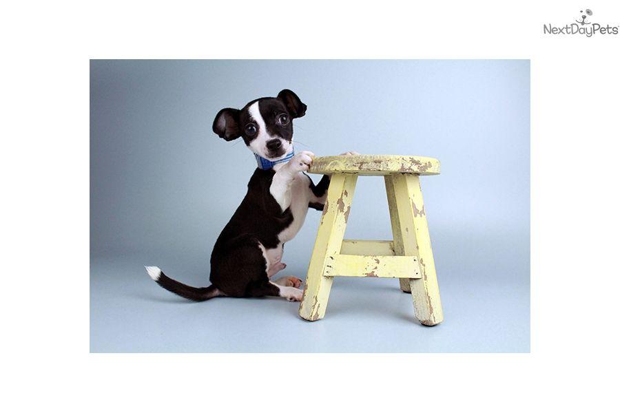 Chihuahua Puppy For Sale Near Joplin Missouri A252c8b2 Ae51