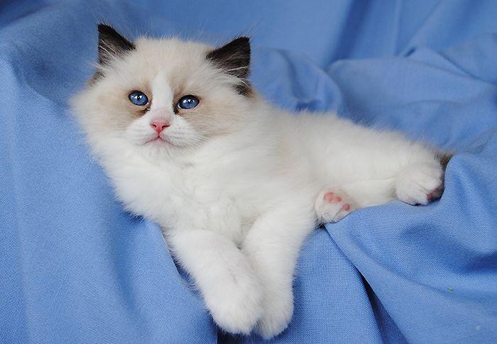 Available Ragdoll Kittens Ragdolls Kittens For Sale Ohio Ragdoll Kitten Kitten For Sale Ragdoll Cat