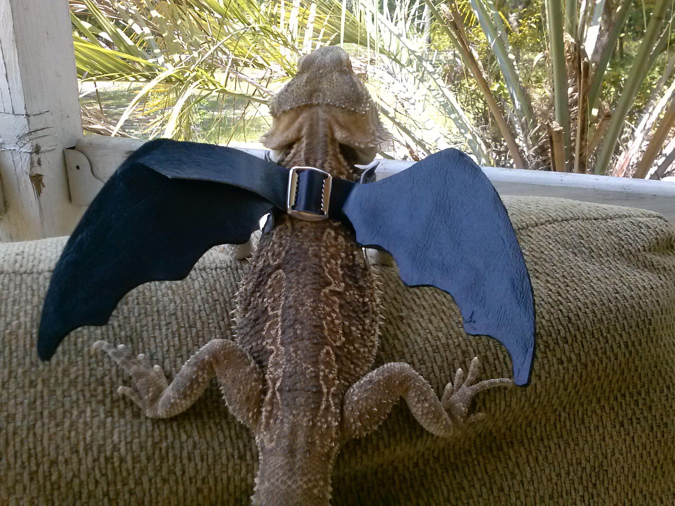 blue bearded dragon winged harness bearded dragon pet