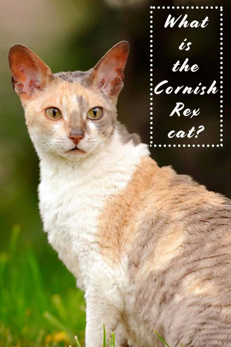 5203d83b5789fe What is the Cornish Rex Cat  - Cat breed review.  allaboutcats