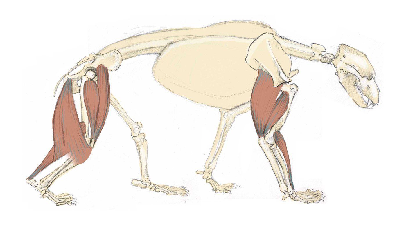 Bear Skeleton 6 | Anatomy - animal - Ursidae | Pinterest | Skeletons ...
