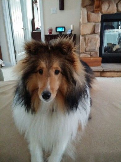 Love my  sheltie, Zoey