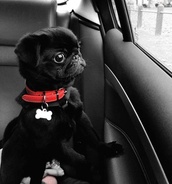 What ??? More rain??? I must get to Scout and Molly's Kiawah to check out the new arrivals!! | Baby pugs, Pugs funny, Cute pugs
