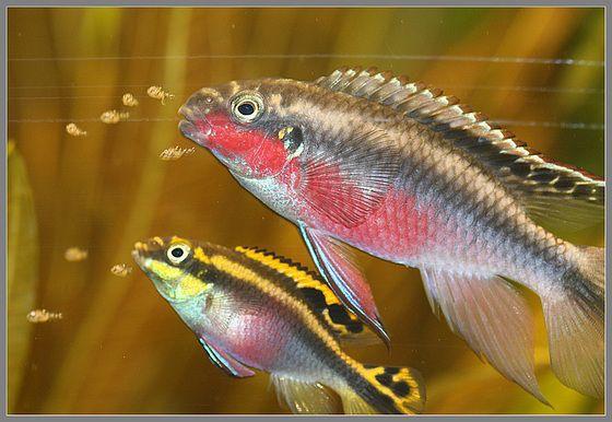 Kribensis Breeding Pair With Young Cool Fish Pet Fish Aquarium Fish