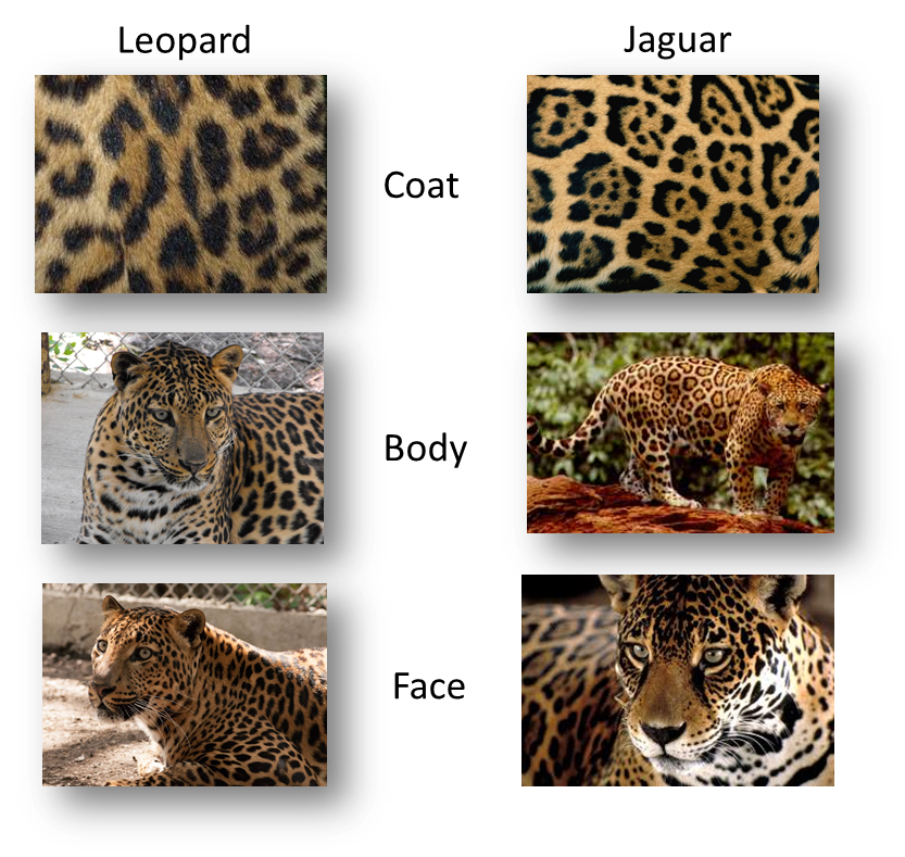 a comparison between the jaguar and leopards Jaguars are much stockier than leopards and have a much larger, rounder skull  a few minutes looking at pictures of both species and the differences,.