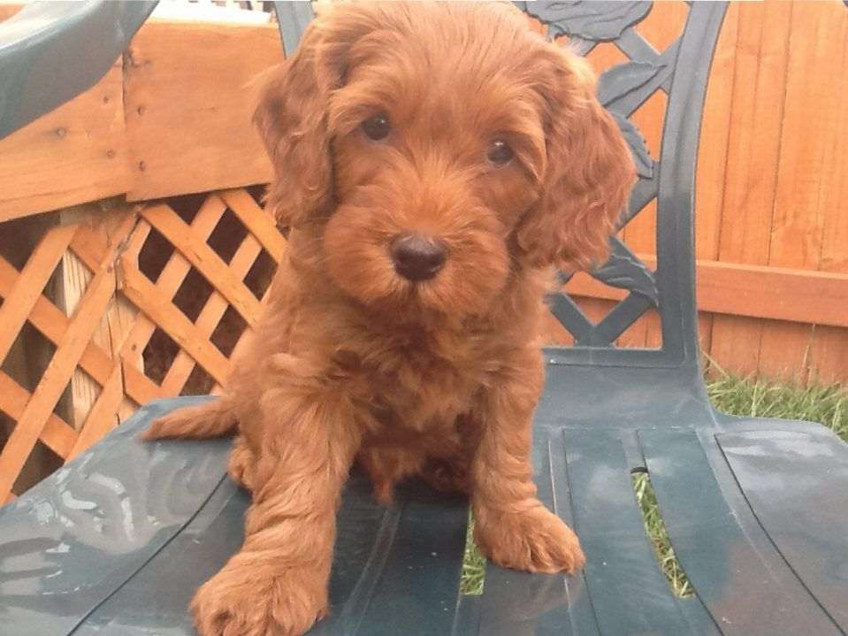 Hershey Bear LabradoodleMiniature Puppy For Sale in