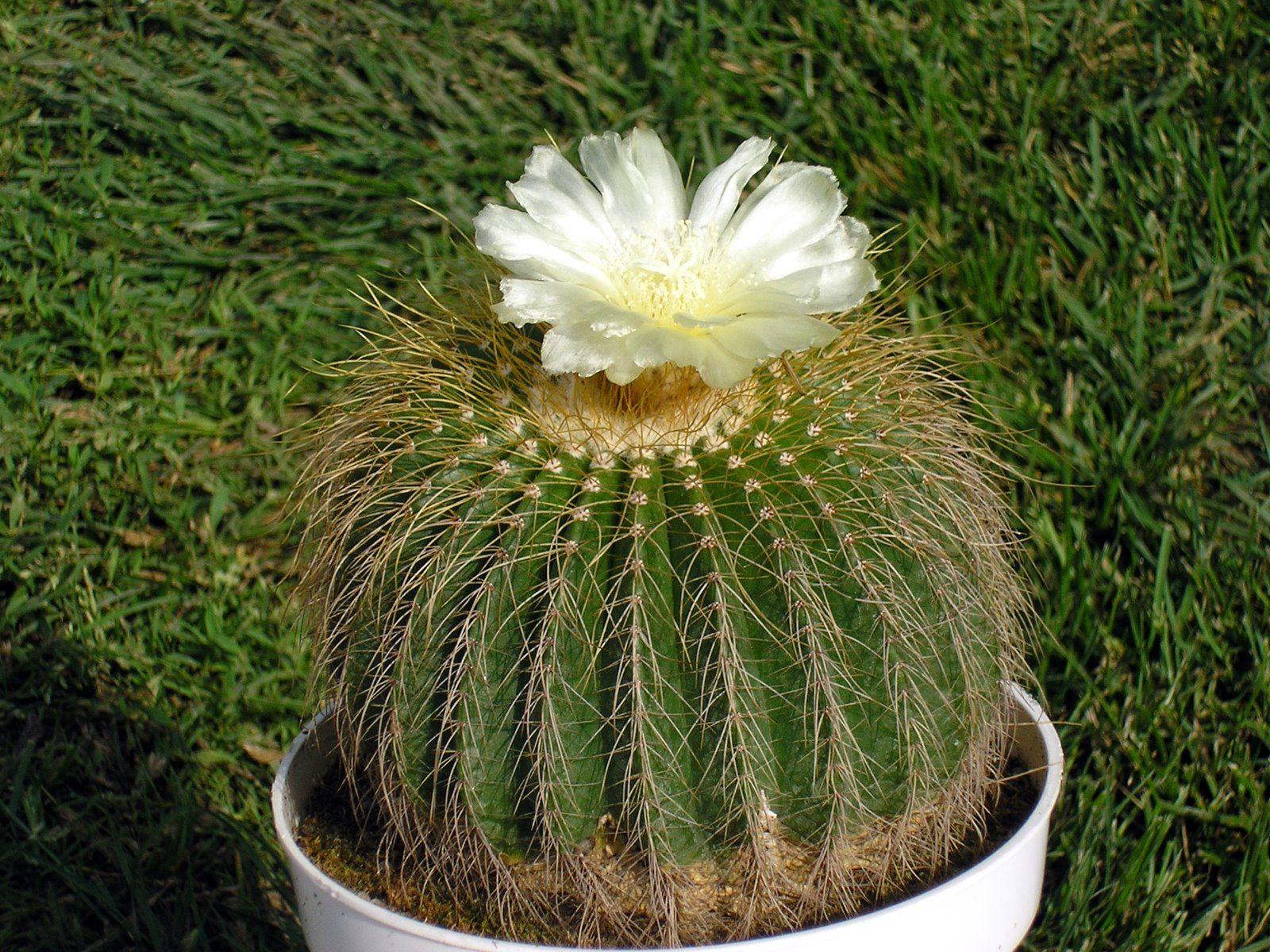 Eriocactus claviceps