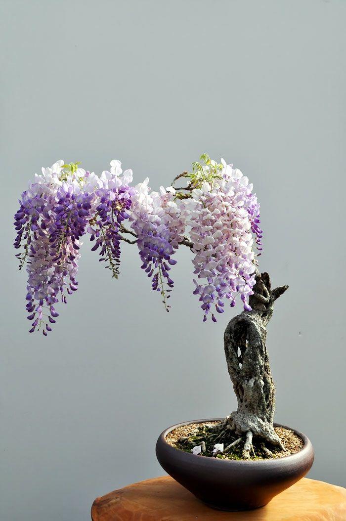 Bonsai Bäume Wisteria Blauregen Mini Baum | Natur | Pinterest ... Basiswissen Bonsai Baum Arten Pflege