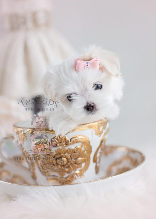 Tiny Maltese Puppy For Sale By Teacupspuppies Com Teacup Puppies