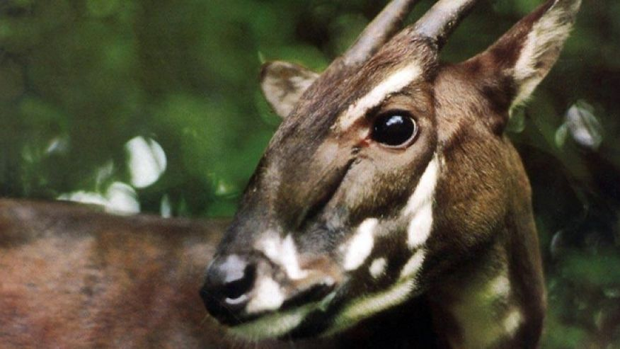 This photo taken in 1993 and released by WWF shows a Saola in Vietnam when it was captured. Saola, one of the rarest and most threatened mammals on earth has been caught on camera in Vietnam for the first time in 15 years in September in central Vietnam.