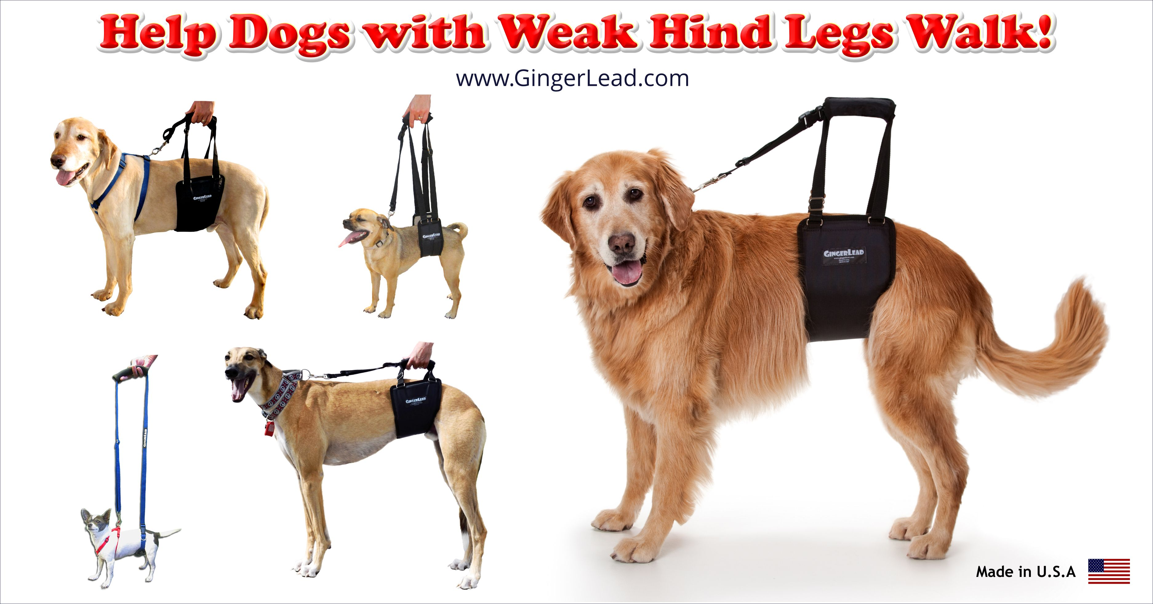 Gingerlead Helps Older Or Disabled Dogs Needing Some Assistance