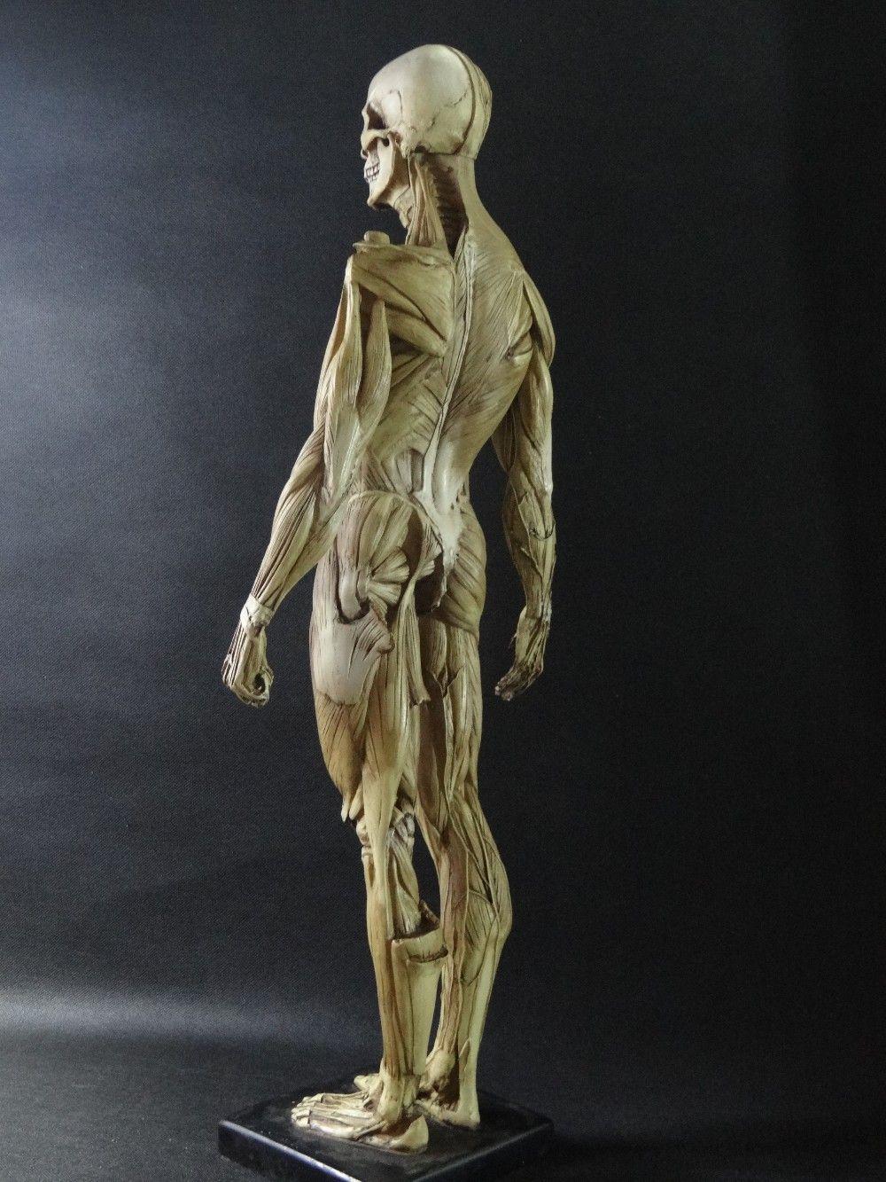 Pin By Tapio Terv On Anatomy Pinterest Human Anatomy Model