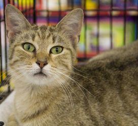 Adopt Spring On Cat Adoption Tabby Cat Cats