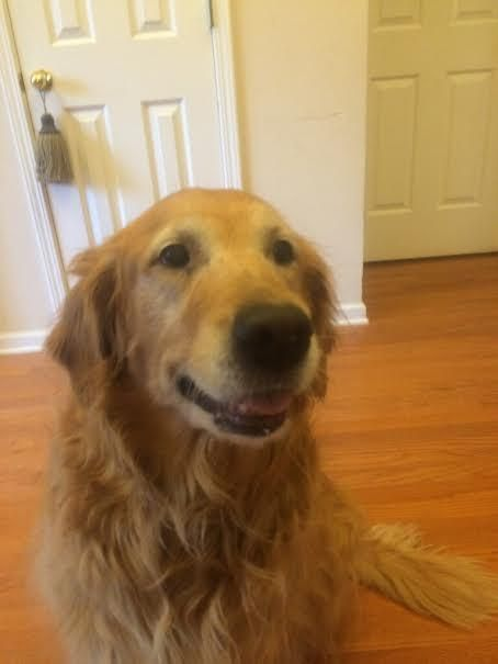 Adopt Emma On Golden Retriever Rescue Dogs Kids Dogs Golden