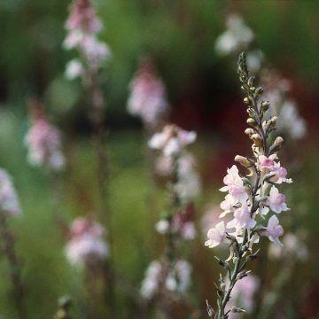 Garten-Leinkraut Canon J. Went #kleinekräutergärten