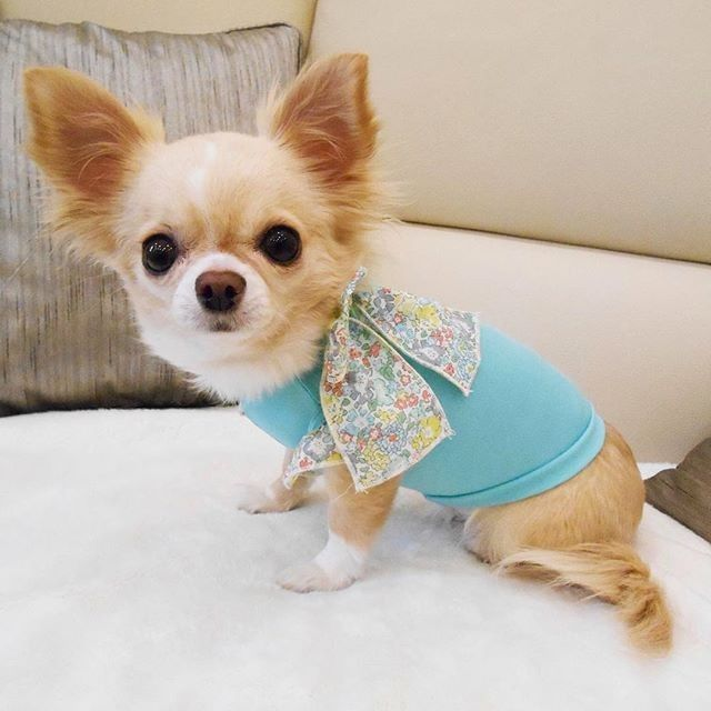 Aren T I Just The Prettiest Fashionchihuahua Dogstagram