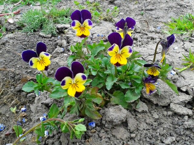 Panselute Salbatice Flowers Plants