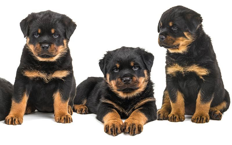 Rottweiler Names 100 Great Ideas For Naming Your Rottie