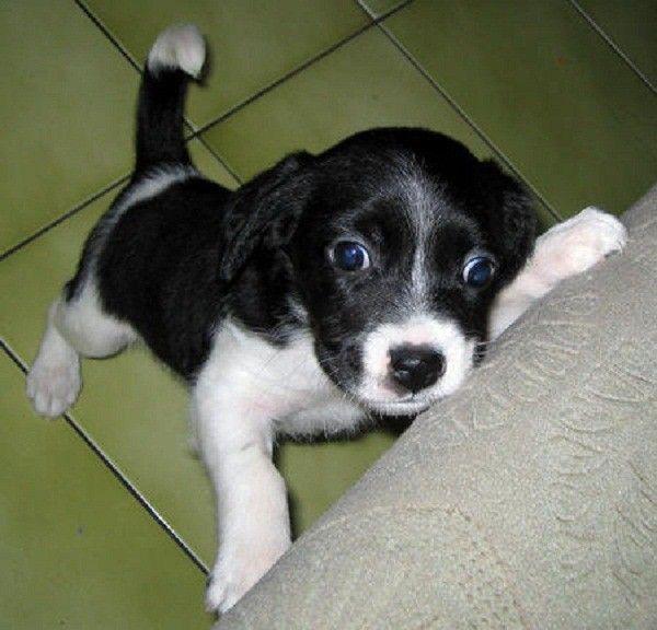 About Shetland Sheepdog Shetland Sheepdog Blue Merle Shetland