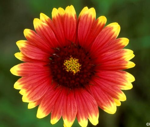 Oklahoma State Flower - Indian Blanket - kudos for an ...