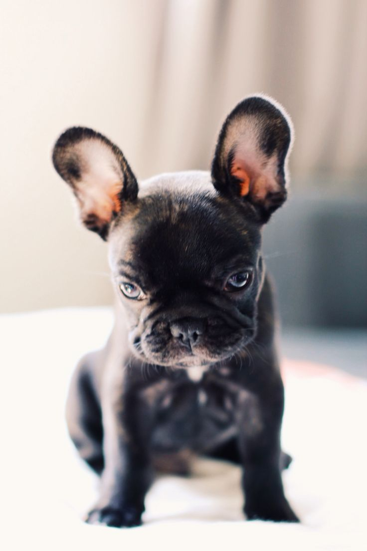 Biscuit The Frenchie French Bulldog Puppies Cute Animals