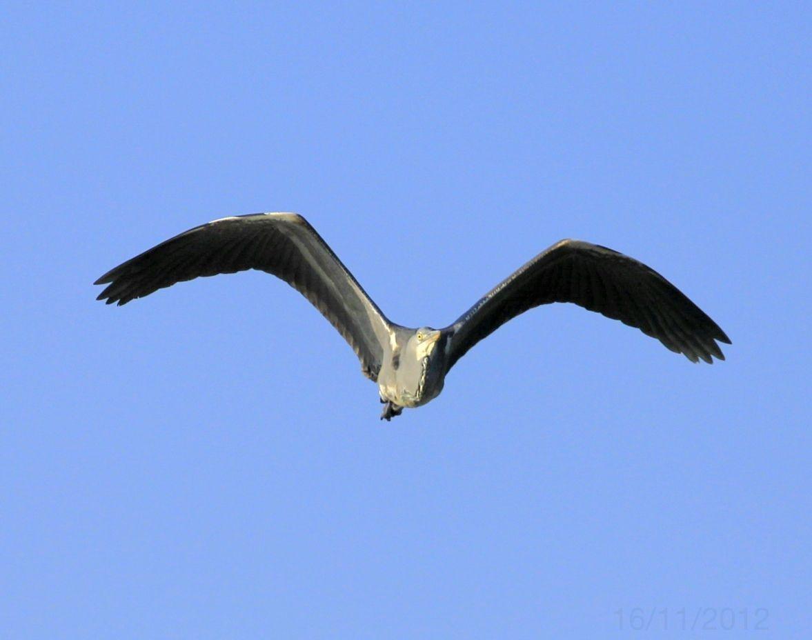 Heron Ardea Cinerea