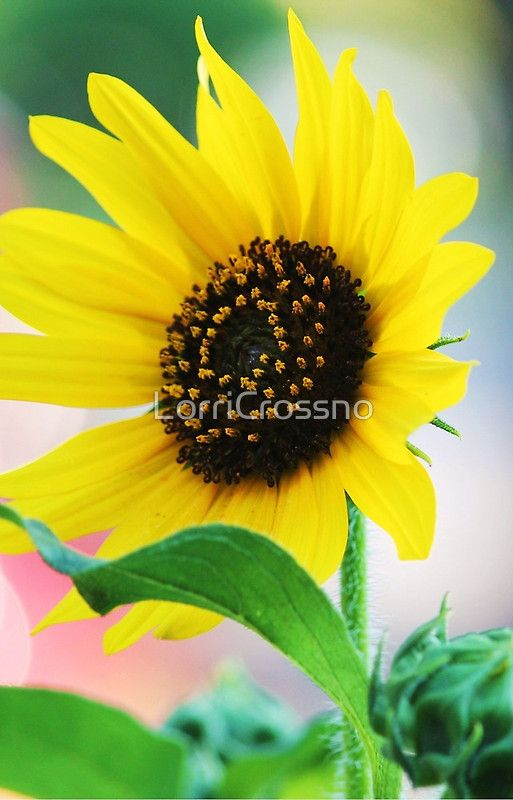 Sunflower #iPhone6 case