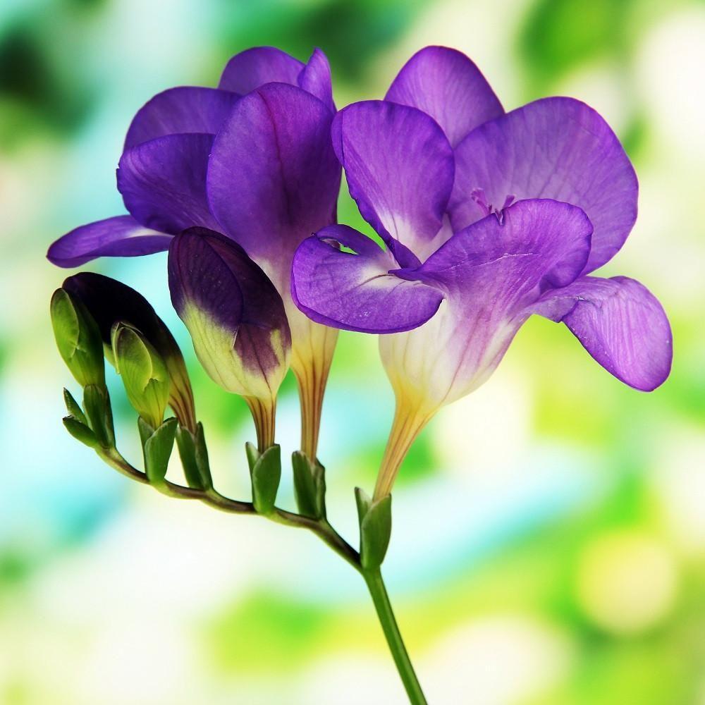 Frezia Types Of Purple Flowers Purple Flowers Freesia Flowers