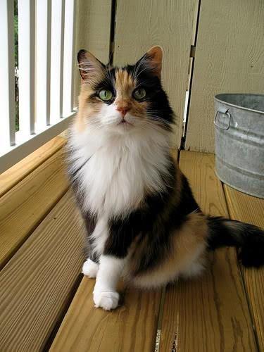Beautiful Long Hair Angora Cats Pretty Cats Calico Cat