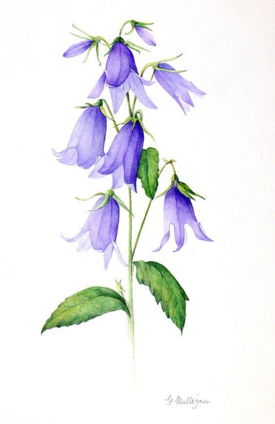 Romanian Bellflower Flower Drawing Blue Bell Flowers Watercolor Flowers Paintings