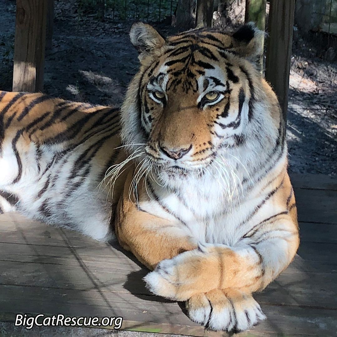 Pin by Brianna Estrada on Photography Big cat rescue