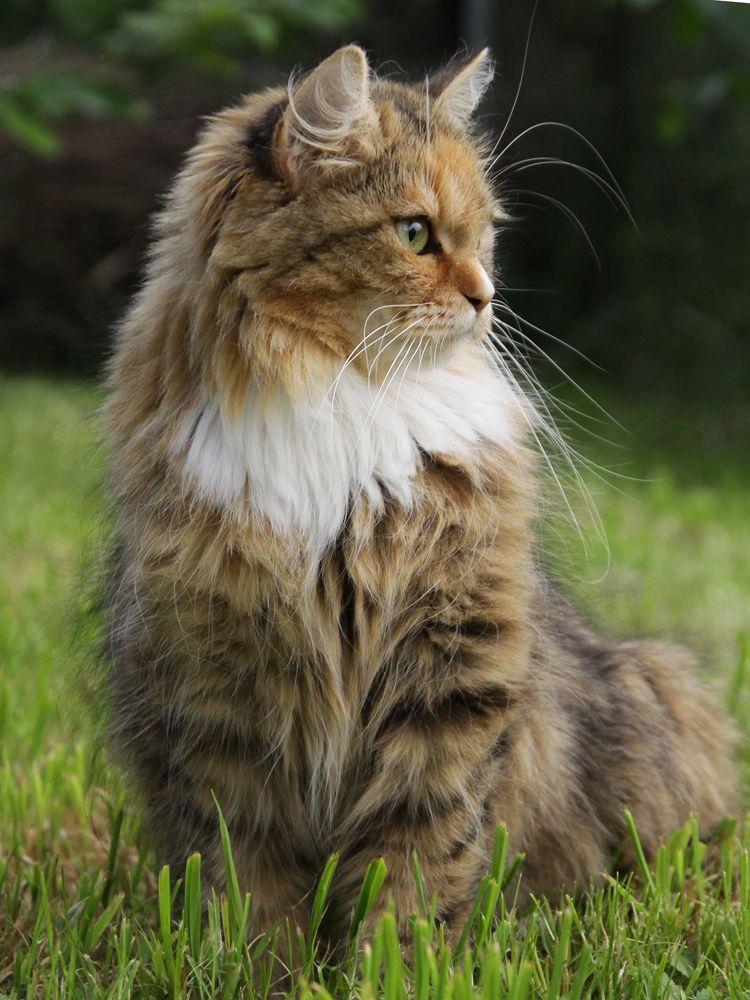Pin Von Vamoshistoriar Auf Unsere Deutsch Langhaarkatzen Katzen Schonen Katzen Hubsche Katzen