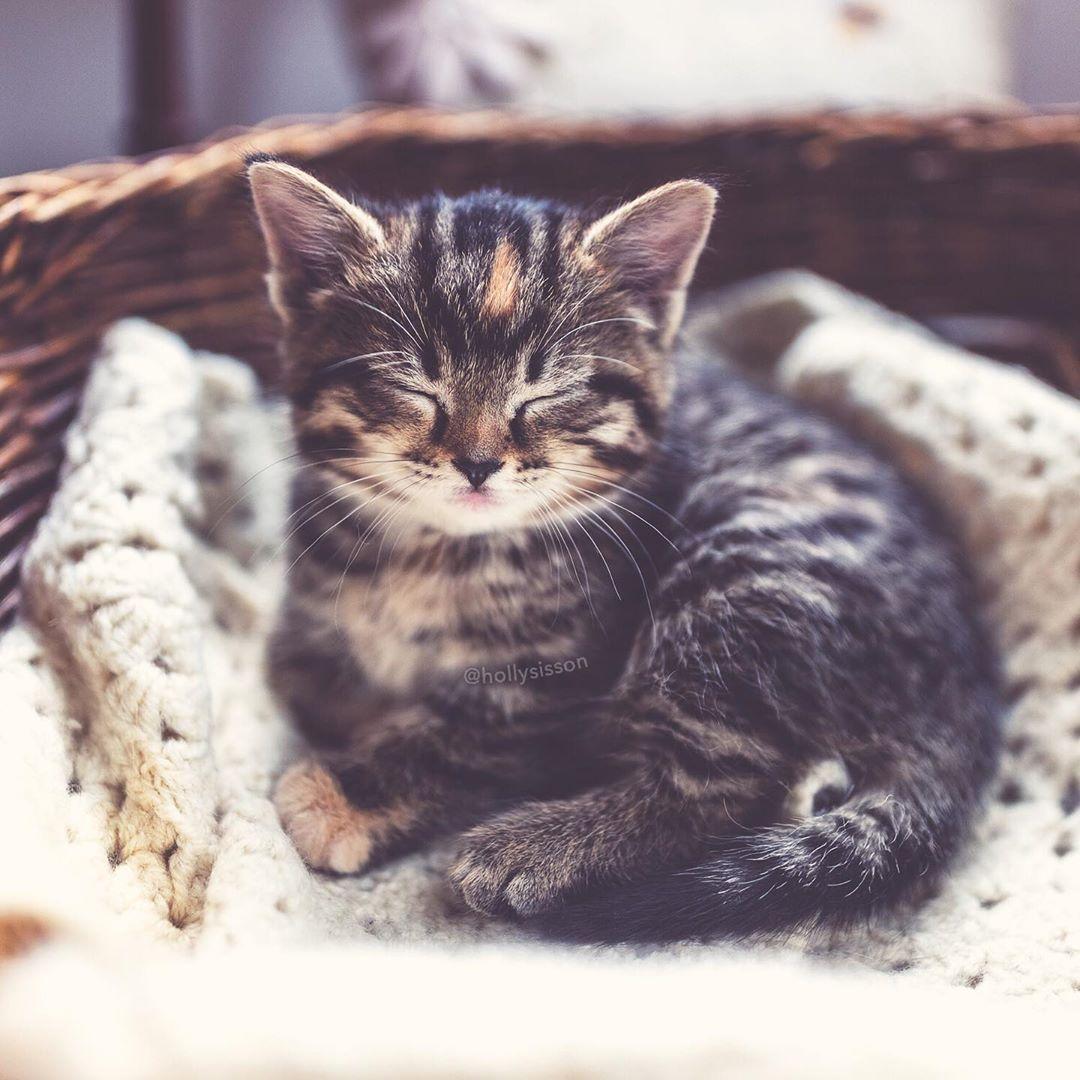 Meet Emma My Mom S New Darling Kitten Expect To See Lots Of Her Here And On Pitterpatterfurryfeet Toronto Kitt Kitten New Darlings Siberian Kittens