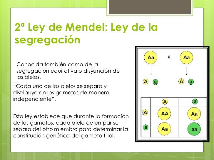 3ª Ley De Mendel Ley De Larecombinacion Independiente De Losfactores Ley De La Independencia De Los Genes Psicobiologia Biologia Estrategias De Ensenanza