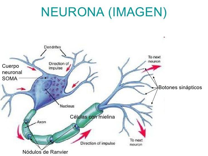 dibujo de una neurona para colorear - Buscar con Google | Cosas que ...