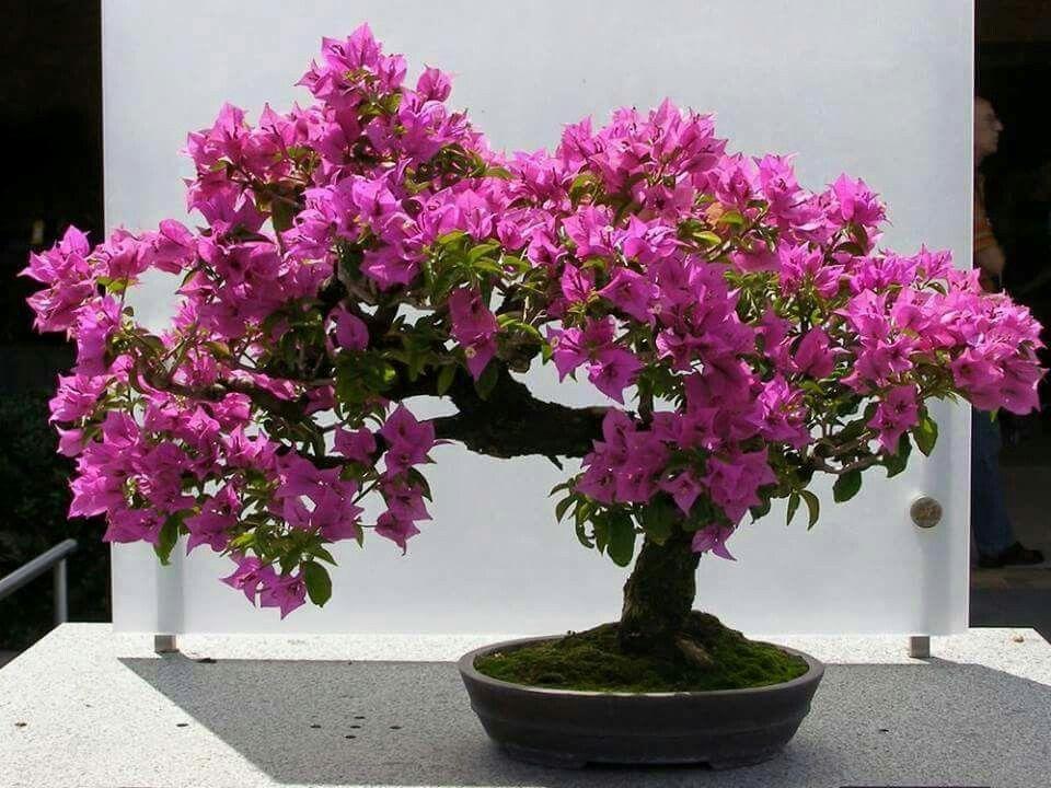 bonsa bougainvillier bonsa japanese garden. Black Bedroom Furniture Sets. Home Design Ideas