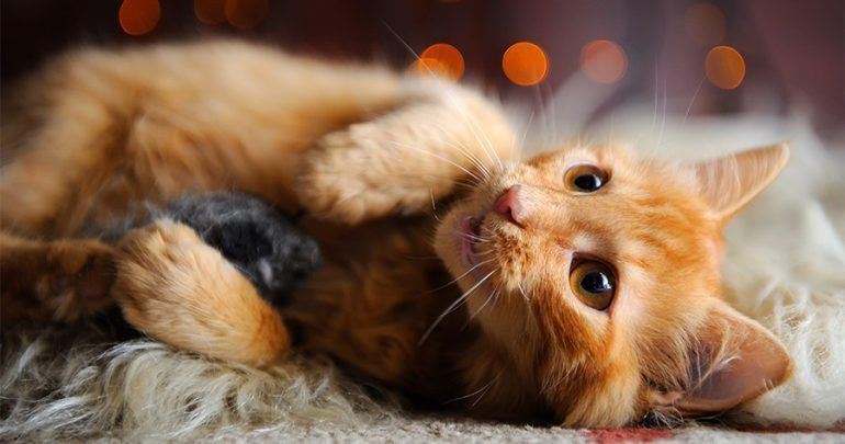 Cute fluffy red kitten playing with toy mouse cat
