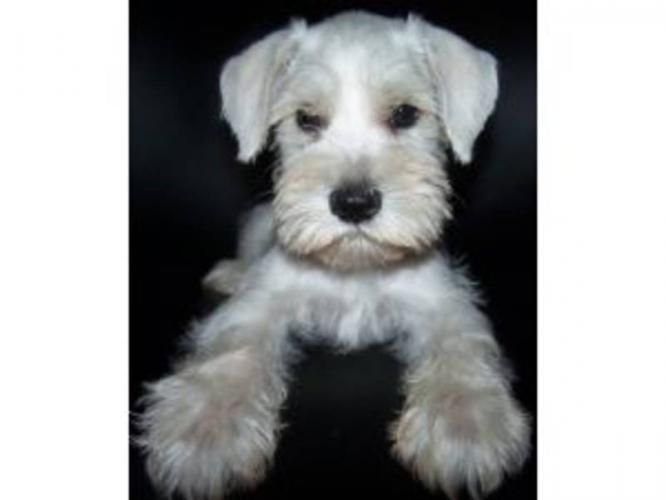 Schnauzer Puppies D I Miss My Girls Being This Teeny Repin By